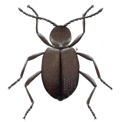 Ptinus-tectus